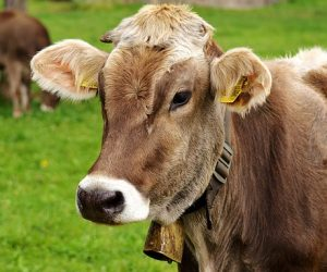 cow-3089259_640